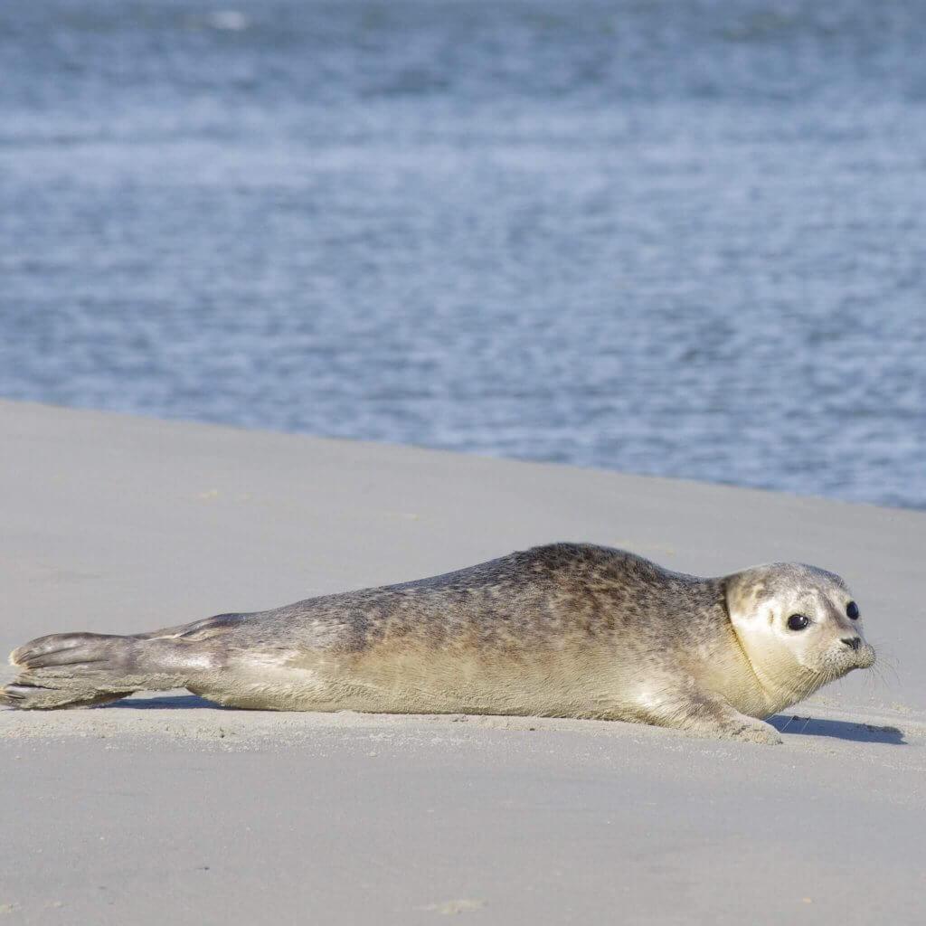 Zeehond op Schiermonnikoog